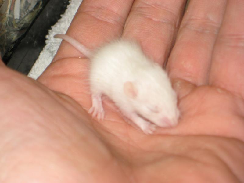 African soft-furred rat