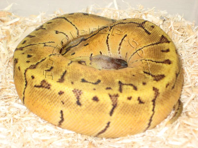 lemon blast ball python juggler bp